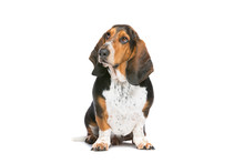 Basset Hound Sitting In Front Of A White Background
