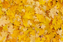 Abstract Autumnal Background: Yellow Foliage On Ground In Park