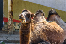 Portrait Of A Camel At The Zoo