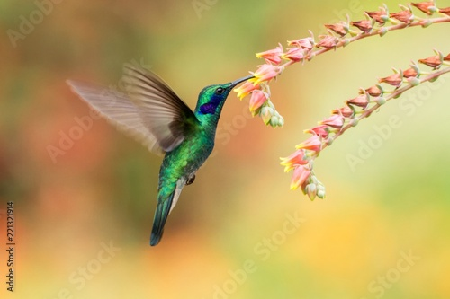 Ingelijste posters Vogel Green violetear, Colibri thalassinus, hovering next to red flower in garden, bird from mountain tropical forest, , Mexico, natural habitat, beautiful hummingbird, colourful and clear background