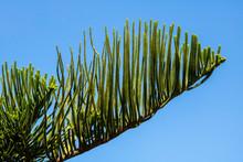 Araucaria Heterophylla - Norfo...