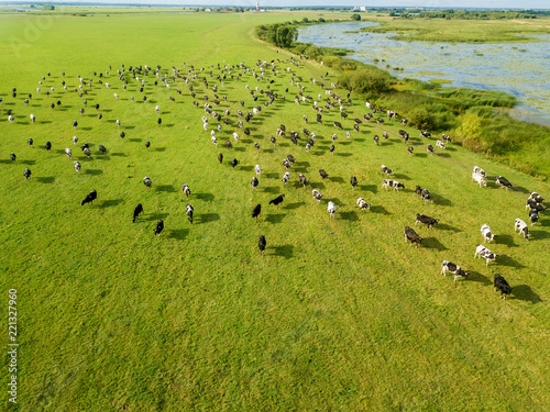 Aerial drone view, a herd of cows grazing in meadows near the river Fototapeta