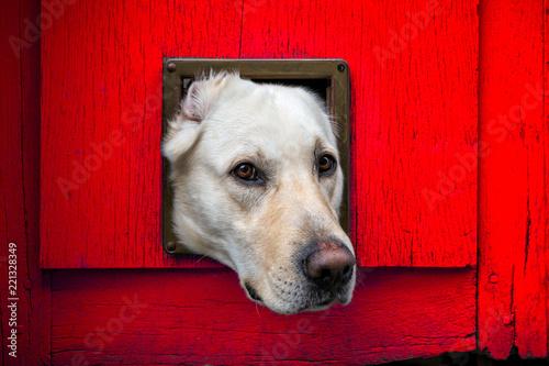 Fotografie, Obraz  Dogs head through cat flap in red wooden door - landscape format