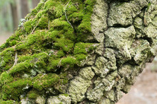 Birch Tree Trunk Covered With Moss