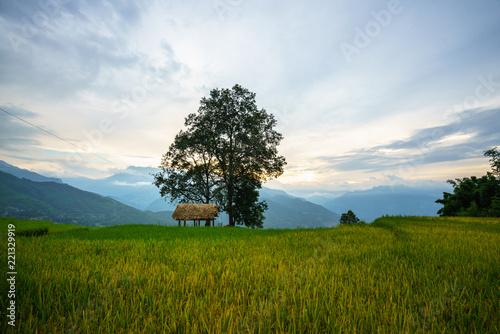 Fotobehang Rijstvelden Terraced rice field with big tree landscape of Y Ty, Bat Xat district, Lao Cai, north Vietnam