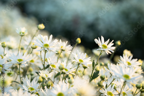 Foto op Canvas Madeliefjes White daisy flowers in early morning sunlight