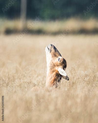 Reh im hohen Gras mit gestrecktem Hals zum Himmel