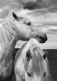 Scottish Horses - 221343334