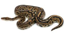 Ball Python Snake Reptile On White