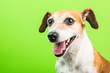 canvas print picture - Smiling happy dog portrait on green background. Lovely pup Jack russell terrier muzzle