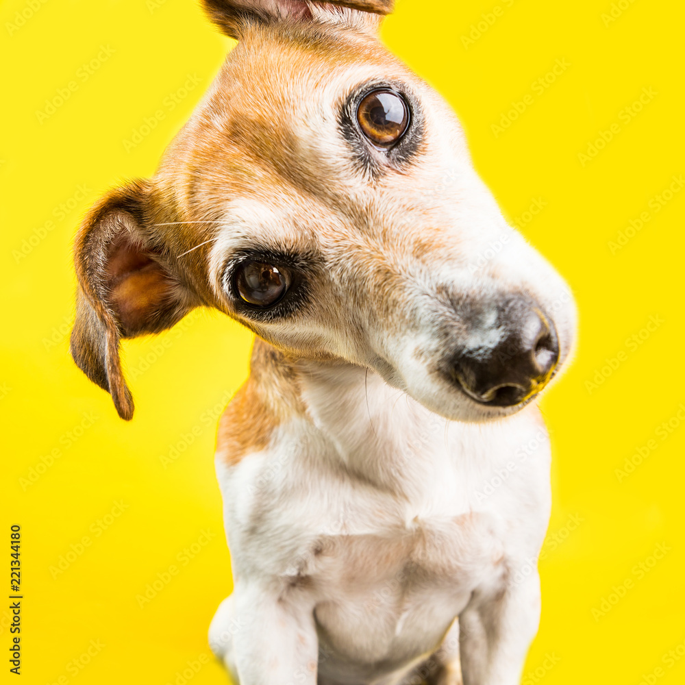Fototapety, obrazy: Close up surprised curious lovely dog Jack Russell terrier portrait on yellow background. Bright emotions