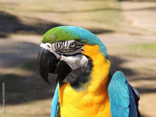 Macaw Parrot (Psittaciformes) Island of Kauai