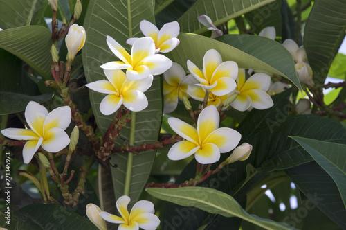 Plumeria alba tropical evergreen shrub flowers in bloom, white yellow flowering plant
