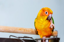 A Little Colorful Parrot Looking At Eating Seed