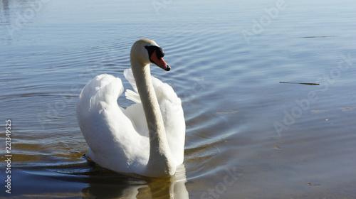 Foto op Aluminium Zwaan white swan in lake