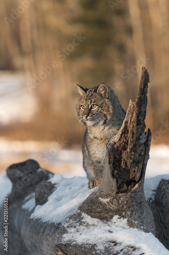 Fototapeta premium Bobcat (Lynx rufus) Sits on Log Looking to Light