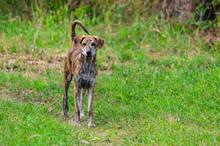 Hunden På Gräset.