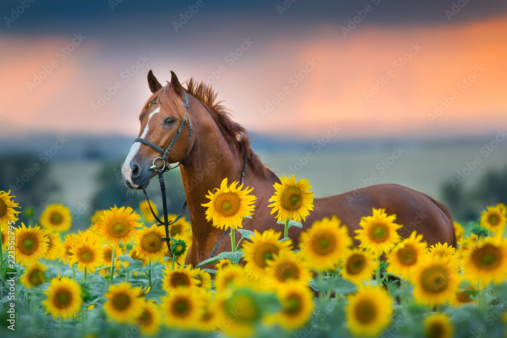 Fototapety, obrazy: Red stallion in bridle portrait in sunflowers
