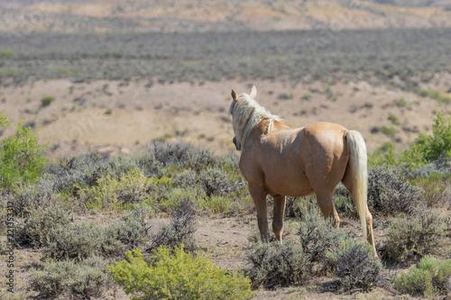 Beautiful Wild Horse in Sand Wash Basin Colorado