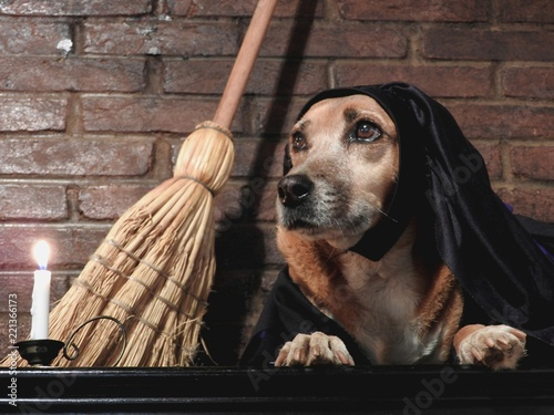 Fototapeta Costumed dog  witch broomstick bamboo dark apparent brick background