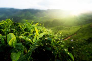 Green tea bud and fresh leaves. Tea plantations in Cameron highland, Malaysia..
