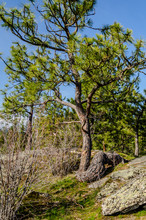 Crooked Pine Tree Growing In Falls Park, Post Falls, Idaho.