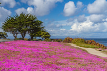 Pink Iceplant Ground Cover Along A Path In Pacific Grove, California