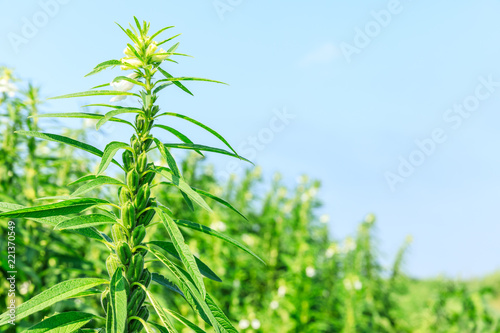 Sesame crops growing in green farmland