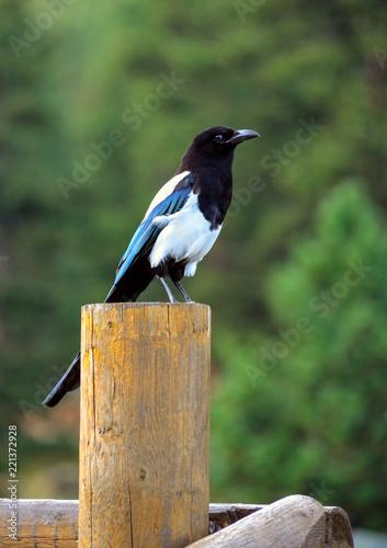 Fotografie, Obraz Black beaked magpie bird on post in Glacier Park