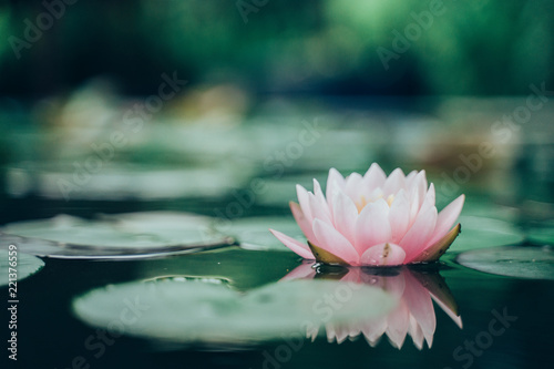 Acrylic Prints Lotus flower beautiful lotus flower on the water after rain in garden.