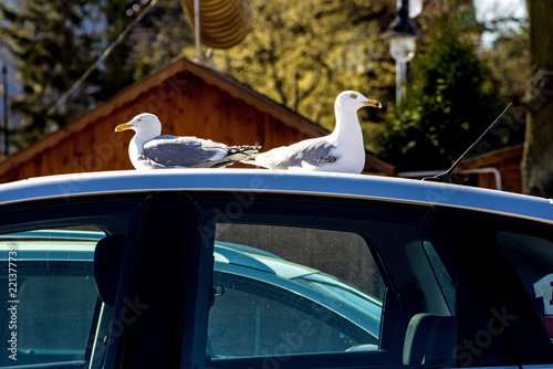 herring gulls on a car