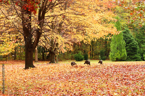 Beautiful autumn nature background. Rural landscape with wild turkey between yellow colored trees in a forest. Wisconsin, Midwest USA.