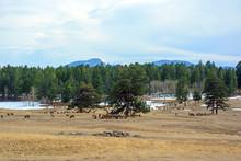 Large Herd Of Elk Grazing And ...