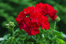 Red Pelargonium In The Garden. Red Geranium Flowers In Summer Garden. Bright Pelargonium