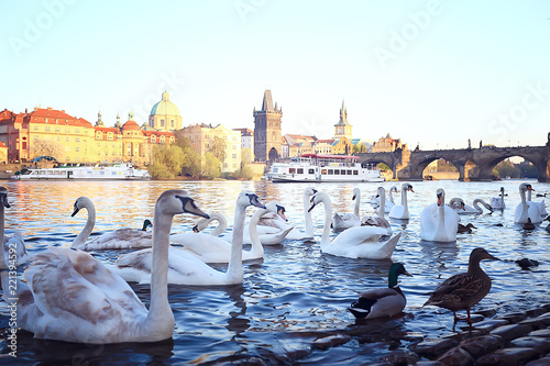 Staande foto Praag swans in Prague on the river landscape / czech capital, white swans on the river next to the Charles Bridge, Czech Republic, tourism