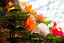 Orange Begonia Whit White, Red And Orange Begonias On Blurred Background