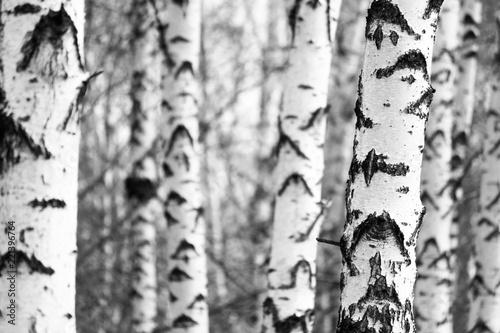 Fotografija Black and white photo of black and white birches in birch grove with birch bark