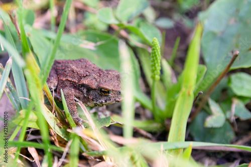 Fotografie, Obraz  Mała żaba ukrywa w trawie