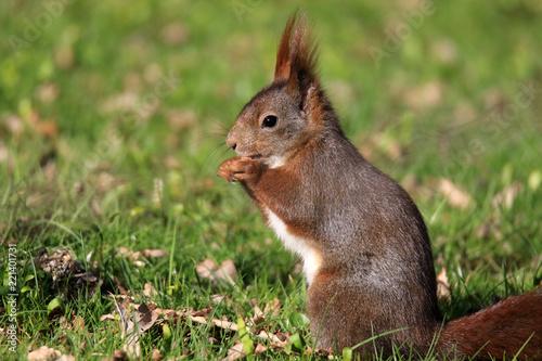 Knabberndes Eichhörnchen im Gras
