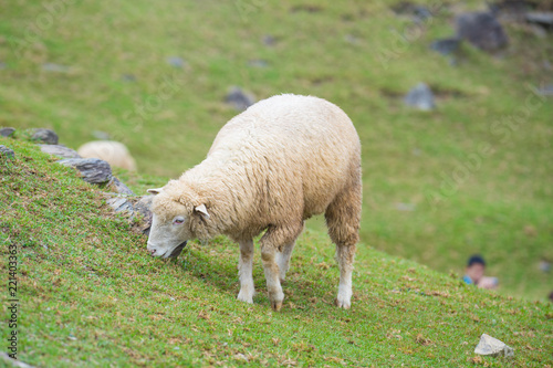 Herd of sheep on green pasture. Sheep eating grass in nature on meadow.