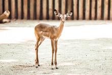 Baby Impala In Zoo Enclosure