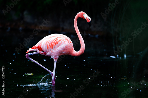 Beautiful flamingo in pond