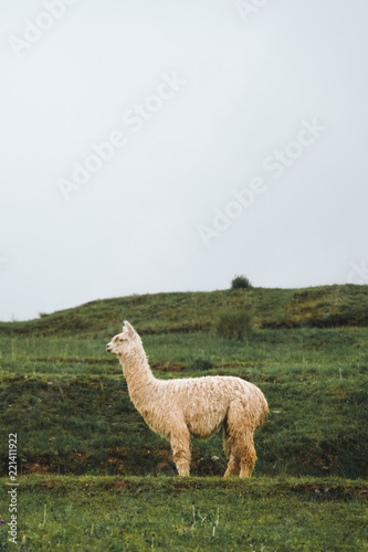 Tuinposter Lama A white lama stands on a background of green grass. Rainy weather. Peru
