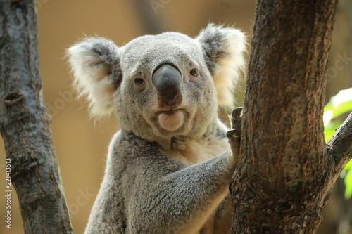 コアラ コアラのアップ コアラの横顔