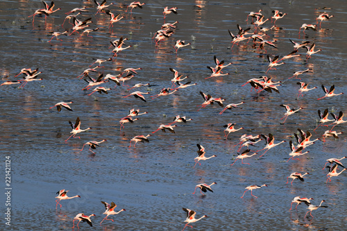 Lesser flamingo. Scientific name: Phoenicoparrus minor. Flamingos on the water of Lake Natron at sunset. Aerial View. From above