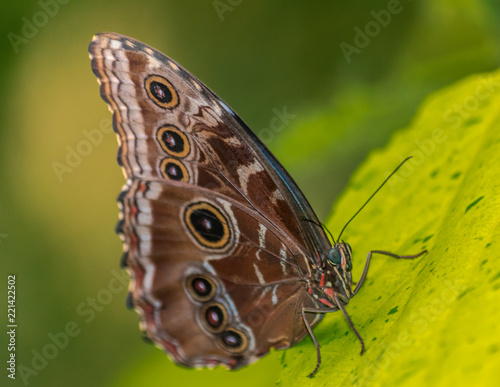 Fotografie, Obraz  Morpho peleides butterfly resting on a green leaf with green background