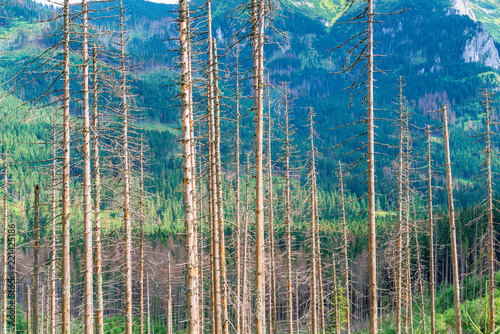 Recess Fitting Bamboo trunks of dry pine trees against the backdrop of mountains on a sunny day