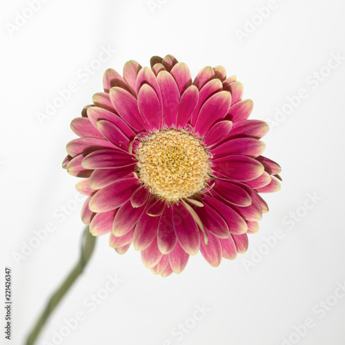 Foto op Canvas Gerbera Perennial plant flower gerbera cherry and pink color petals and with a yellow seed.