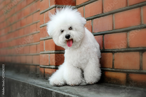 Canvas Print bichon frise puppy cute portrait