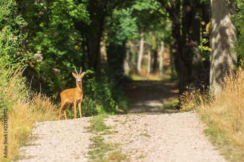 Foto op Canvas Ree Nyfiken rådjursbock på en skogsväg